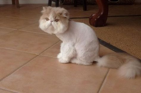persian cats with lion cut #persiancatlioncut