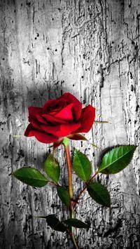 Gambar Bunga Wallpaper Wa Bunga Mawar Cantik Bunga Sakura