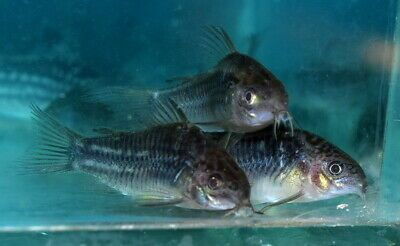 Corydoras Sp Colombia 2019 Rare Catfish Wild Tropical Fish Aquarium Catfish Aquarium Fish For Sale