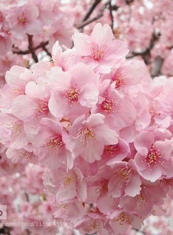 Prayers Please Hsn Community Cherry Blossom Flowers Flower Aesthetic Pretty Flowers