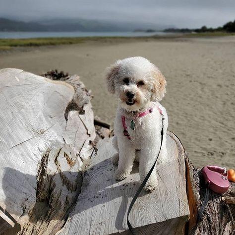 Enjoying my day! #puppylife🐾 #beachlife #beachpup #puppymodel #pnwdogs