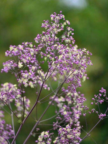 Prächtige Wiesenraute Elin Thalictrum rochebrunianum