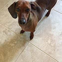 Pin By Wild For Weiners On Dachshund Rescue Dachshund Dachshund Adoption Dachshund Rescue