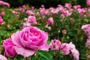 Homemade Pesticides For Roses Planting Roses Growing Roses Birth Flowers
