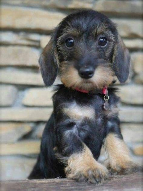 Teckel Pup Wirehaired Dachshund Puppy Wire Haired Dachshund