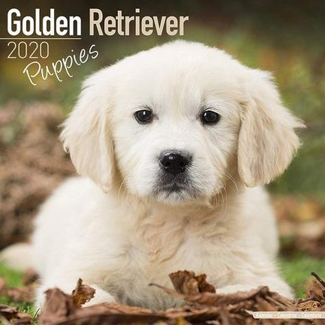 Golden Retriever Puppies 2020 Calendar The Perfect Gift For Dog