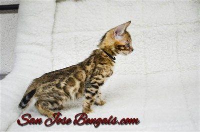 Bengal Kittens For Sale San Jose Bengal Cats San Jose Bengal