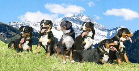 Η   ΕΦΗΜΕΡΙΔΑ   ΤΩΝ    ΣΚΥΛΩΝ: Ποιες είναι οι ράτσες σκύλων των Ελβετικών Άλπεων