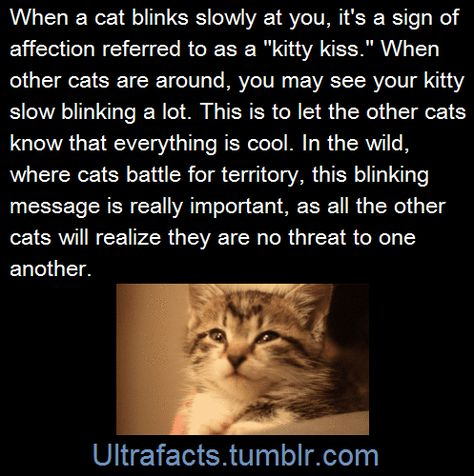 When a cat blinks slowly at you, it is a sign of affection