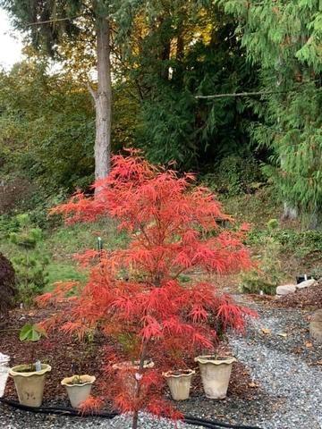 Buy Acer Palmatum Red Pygmy Strapleaf Japanese Maple Mr Maple Buy Japanese Maple Trees Japanese Maple Tree Acer Palmatum Japanese Maple