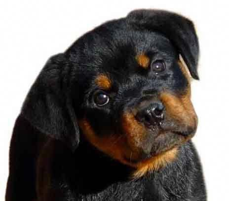Exceptional Rottweilers Information Is Readily Available On Our
