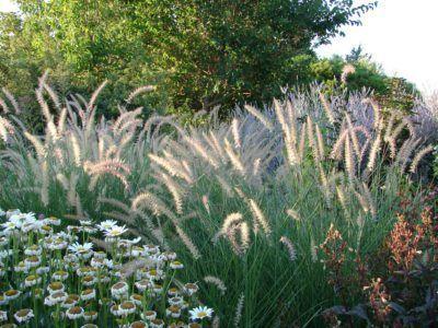 Ziergraser Der Zone 8 Wachsendes Ziergras In Den Garten Der Zone 8 Graser Im Garten Pflanzen Graser Fur Den Garten