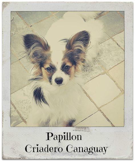 Papillon del Criadero Canaguay #papillondog #papillon #puppy #stud #colombia #bogota #show #quality