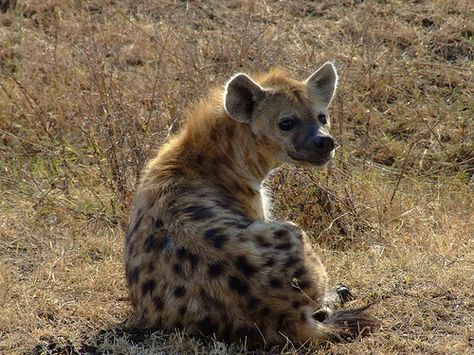 Hyena Laughing Laughing Hyena Pictures Hyena Wild Dogs African Wild Dog