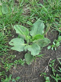 """When most people look at a plantain (plantago major), unfortunately the first thing they think of is """"weed"""". We've been conditioned by the…"""