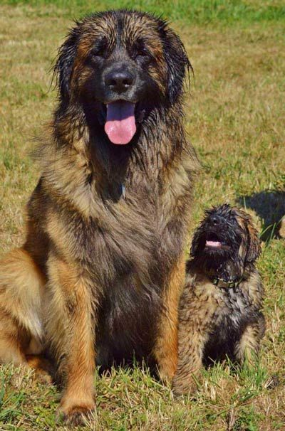 9 Reasons Why Leonbergers Are Totally Unforgettable Lion Dog Group Of Dogs Dog Breeds