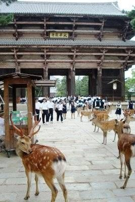 To feed or not to feed the deer at Nara… I vote NOT (they never get full… and they can be a little aggressive!)