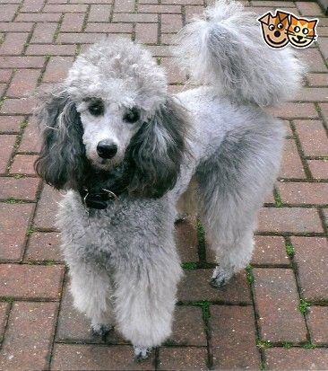 Kc Reg Silver And Blue Miniature Poodle Puppies Poodle Silver