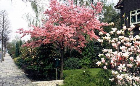 Hausbäume für kleine Gärten - Bäume und große Sträucher sind auf Grund ihrer Größe und ihres Blütenreichtums im Frühjahr willkommene Blickfänge im Garten. Aber auch mit kleinwüchsigen Gehölzen können Sie mit wenig Platz große Effekte erzielen.