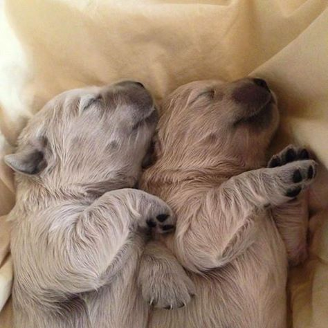 Newborn Golden Retriever Puppies Newborn Puppies Golden