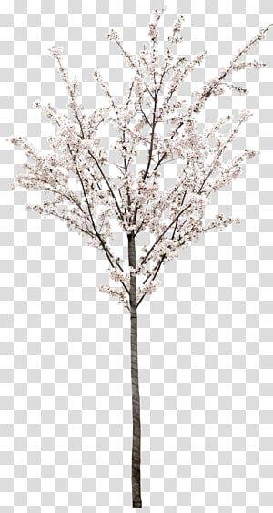 White Flowering Tree Cherry Tree Transparent Background Png Clipart White Flowering Trees Flowering Trees Pink Flowering Trees