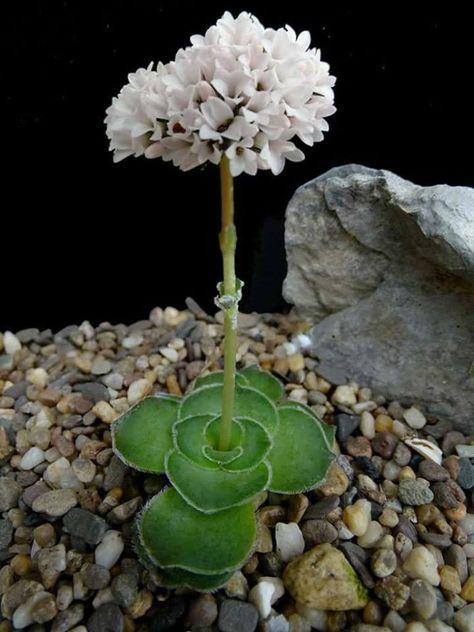 Daggerpod  Succulent Rare 10 seeds UK SELLER