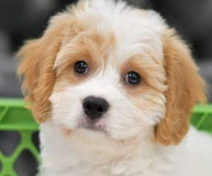 Puppies For Sale In 2020 Cavachon Puppies Puppies For Sale Puppies