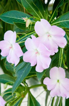 November Impatiens Sodenii Shell Pink Spurred Flowers Around 5cm Across Give Continuous Display Through Summer And Well Into Au Plants Rhs Garden Planning