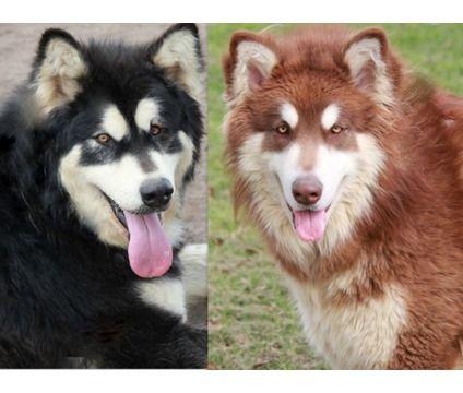 Giant Red Malamute Google Search Alaskan Malamute Puppies