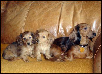 Polonez Reg Dachshund Breeders Dachshund Puppies Dachshund