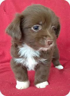 Lawrenceville Ga Havanese Chihuahua Mix Meet Dash A Puppy For