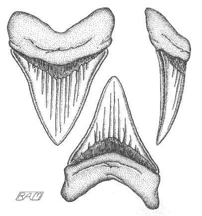 T Rex Teeth Drawing Google Search Shark Art Shark Coloring