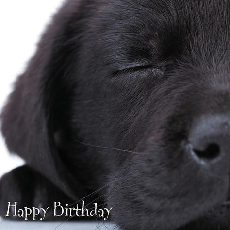 Quality Selection of Labrador Retriever Puppy Dogs Birthday Greetings Cards