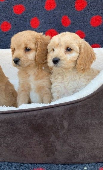 Hi We Have An Outstanding Littler Of Cockapoo Puppies For Sale Mum Of The Puppies Is Our Family Pet Called Bella She Have An Amazing Tempe Cockapoo Puppies Cockapoo Puppies For