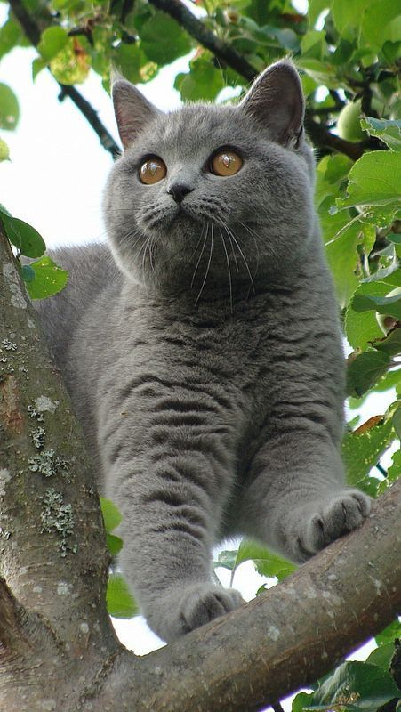 British Shorthair I Love The Cracks In Their Coats Fatcat Kittens Blue Cats Cool Cats