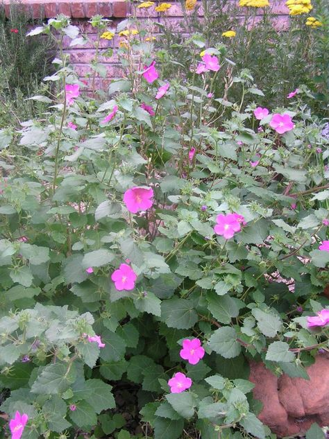 Texas rock rose (Pavonia)