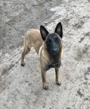 Malinois Welpen In Sachsen Anhalt Aschersleben Schaferhund Und Schaferhundwelpen Kaufen Ebay Kleinanzeigen Furry Dogs Animals