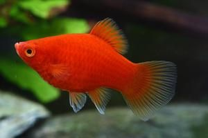 Red Platy Aquarium Fish Tropical Freshwater Fish Pet Fish
