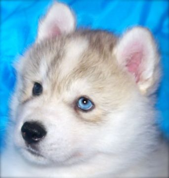 Siberian Husky Puppy For Sale In Tulsa Ok Adn 53485 On