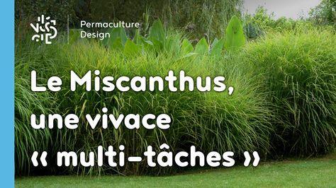 Le Miscanthus Une Vivace Multifonction Tres Permaculture Avec