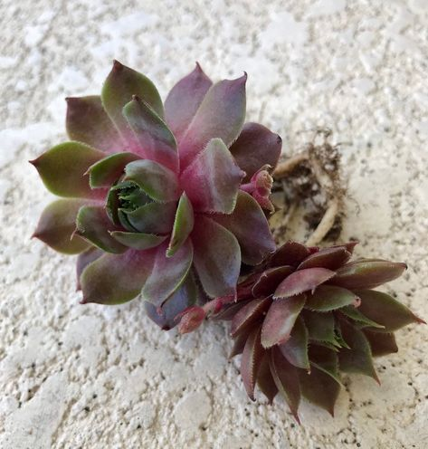 """Details about  /Succulent Echeveria Dusty Rose 4/"""" Pot Live Rooted Rosette Hardy Easy to Grow"""