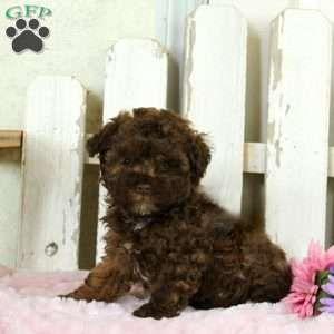 Georgie Havapoo Puppy For Sale In Pennsylvania Havapoo Puppies Puppies For Sale Puppies