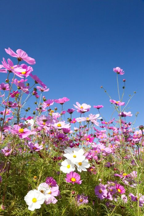 Fototapeta Kosmos Kwiat I Niebo Pixers Zyjemy By Zmieniac Plants