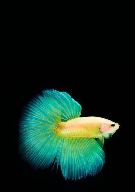 Betta Fish Wallpapers Free By Zedge How To Get Back Live Fish Wallpapers In Ios 11 On Iphone Betta Fish Wallpap Fish Wallpaper Iphone Betta Fish Fish Wallpaper Betta fish live wallpaper