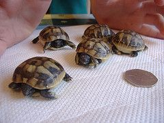 Hermann tortoise , Information, Care , Hibernation, Hatchlings for sale