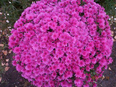 Многолетники Цветы На Даче Фото И Название