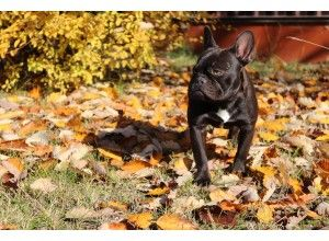 French Bulldog Puppies Price French Bulldog Puppies