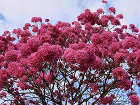 Happiness All Around Us Flowering Trees In India Flowering Trees Pink Flowering Trees Beautiful Flowers