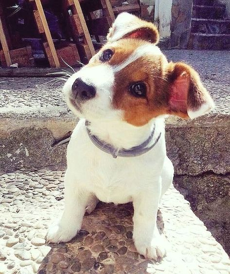 Jack Russell Terrier - A Dog in One Pack - Champion Dogs Jack Russell Terrier, Jack Russell Puppies, Cute Puppies, Cute Dogs, Dogs And Puppies, Doggies, Maltese Puppies, Terrier Puppies, Bull Terrier Dog