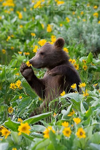 BEA 02 KH0011 01 - Grizzly Bear Cub Sitting In Field Of Wildflowers Holding Flower - Kimballstock